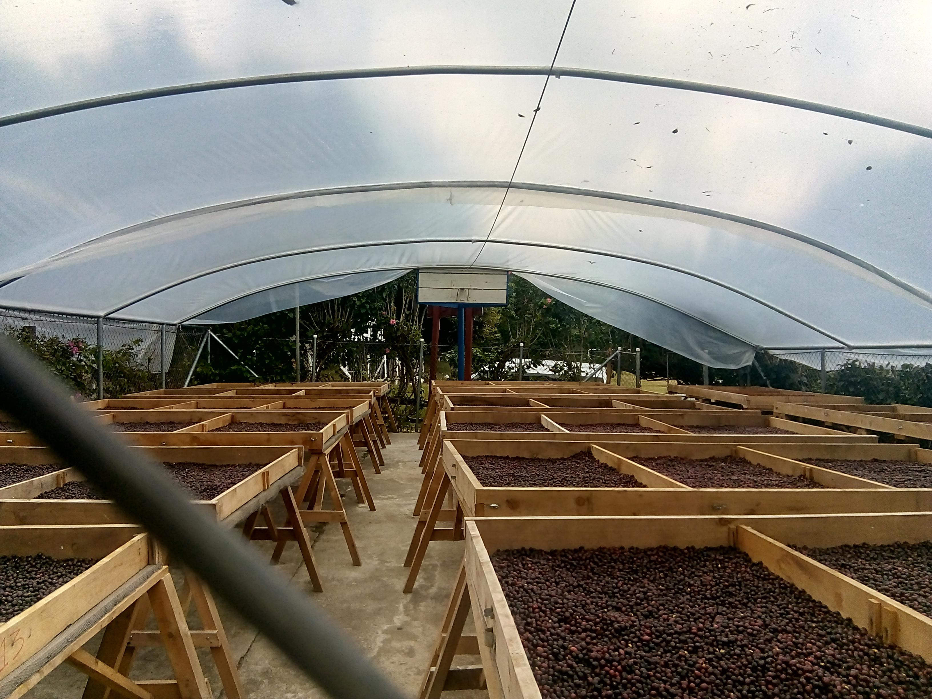 Secado de café en invernadero con techo curvo